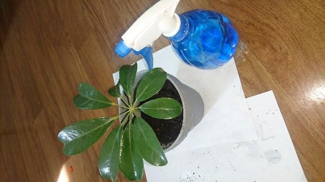 MPK umbrealla plant 5