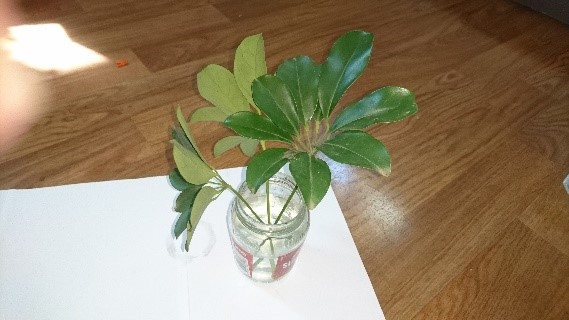 MPK umbrella plant 1