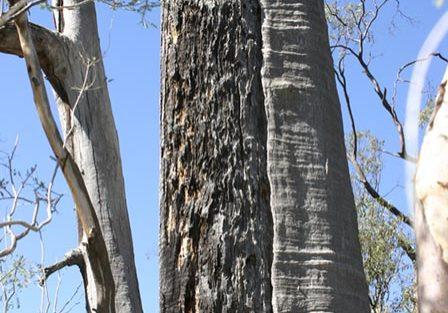 scar-tree